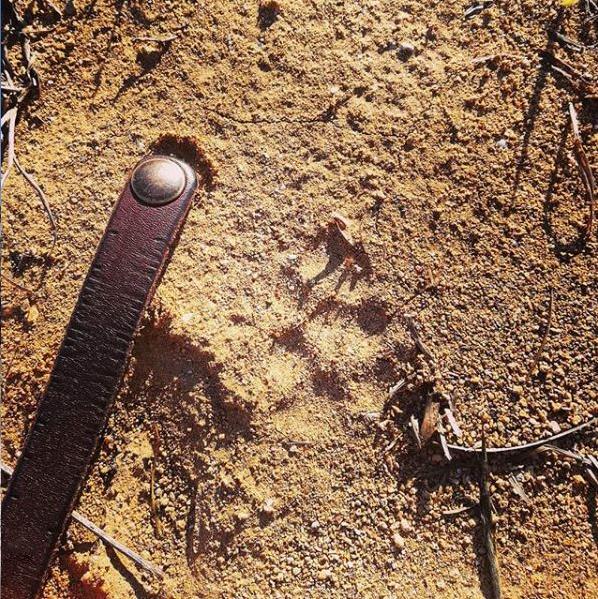 trace renard observation